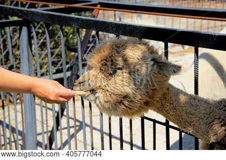 Llama Alpaca. Mans Hand With Alpaca Cookies. Treat For Llama Alpaca