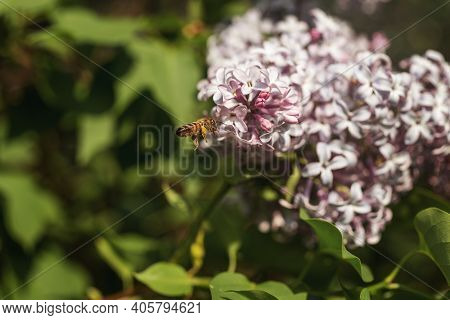 Bee On Purple Lilac Flowers. Syringa Flowers Close-up. Honeybee Pollinating Purple Flowers Of Lilac