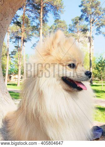 Pomeranian Dog In A Park. Dog Outdoor. Adorable Dog. Pomeranian Dog Outdoor.