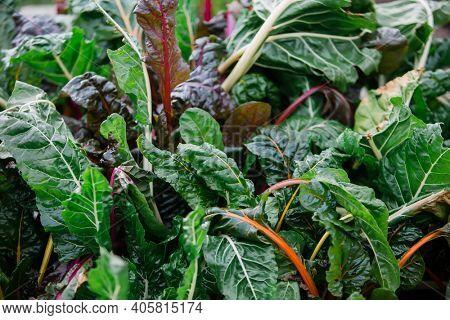 Leafy lettuce growing in garden