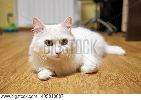 Adorable Domestic White Whisker Cat Lies On Floor And Look In Camera. Life Of Domestic Pets.