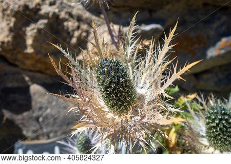 Alpine Sea Holly, Eryngium Alpinum, In Vanoise National Park, Savoie, France