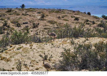 Nandu, Greater Rhea Female Running Through The Landscape Of Patagonia With Little Chicks. Rhea Ameri