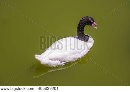 Black-necked Swan Or Cygnus Melancoryphus Also Known As Black-necked Swan, Has A Black Head And Neck