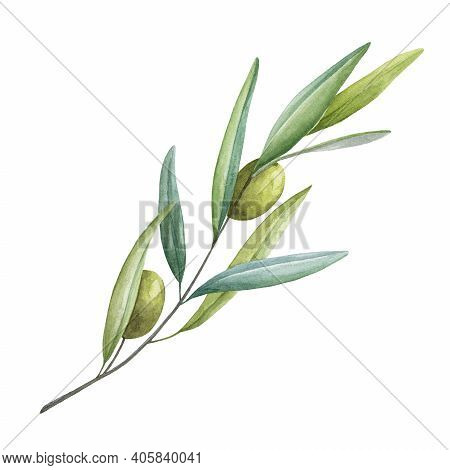 Olive Branch With Green Leaves And Fruit Watercolor Illustration. Green Raw Organic Olive Natural Im
