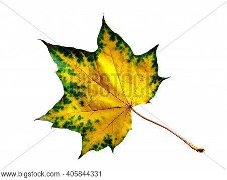 Green Yellow Maple Leaf Isolated On White Background. Autumn Yellow Maple Leaf - Fall September Foli