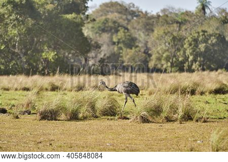 Nandu, Greater Rhea Female Running Through The Landscape Of The Wetlands In Pantanal Swamp In Brazil