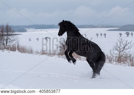 Friesian Stallion Running In Winter Field. Black Friesian Horse Runs Gallop In Winter.