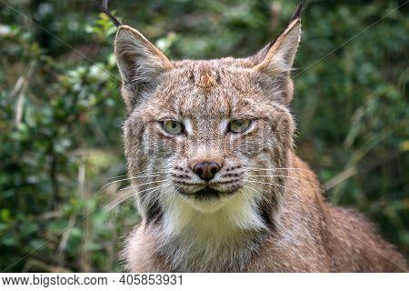 Portrait Of A Canadian Lynx, Lynx Canadensis