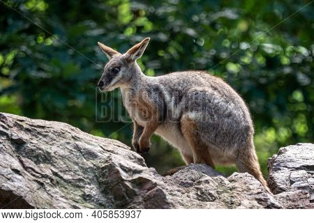 Yellow Footed Rock Wallaby Sitting On A Rock