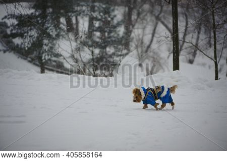 The Dog Is Dressed In A Winter Overalls. Red-haired Dog In A Blue Jacket Walks On The Street In Wint