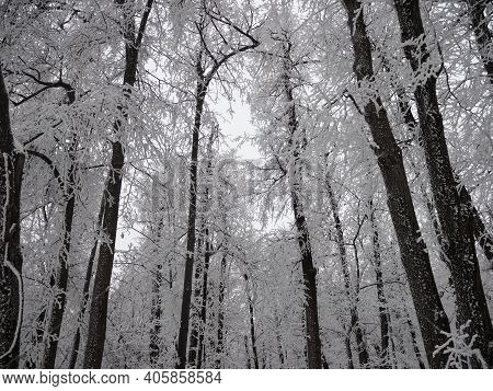 Forest Natural Landscape On A Winter Day. Snow-covered Trees In The Winter Forest. Winter Forest Wit