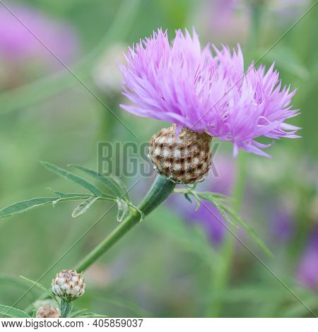 Beautiful Bright Flower Of The Field Cornflower With Delicate Fragile Petals, Blooming In The Grass