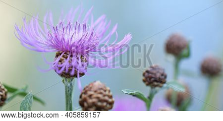 Beautiful Bright Flower Of The Field Cornflower With Delicate Fragile Petals And Buds, Blooming In A