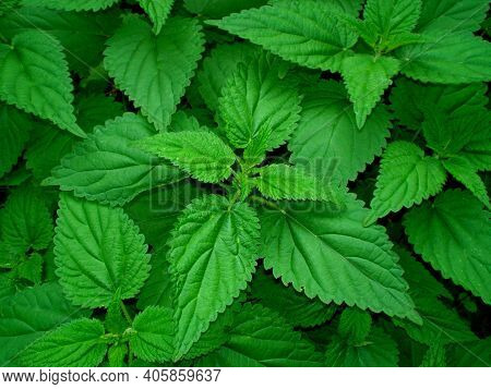 Stinging Nettle Leaves (urtica Dioica) Pattern Background. Green Texture Spring Common Nettle. Top V