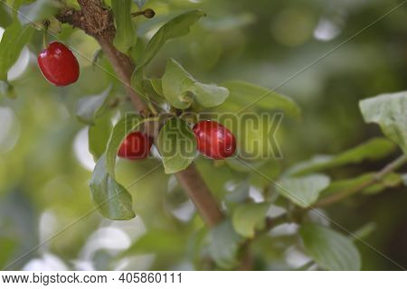 Cornelian Cherry - Latin Name - Cornus Mas