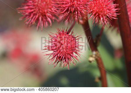 Castor Oil Plant - Latin Name - Ricinus Communis
