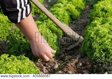 Green Leaf Lettuce On Garden Bed In Vegetable Field. Fresh Lettuce Leaves. Growing Lettuce In Rows I