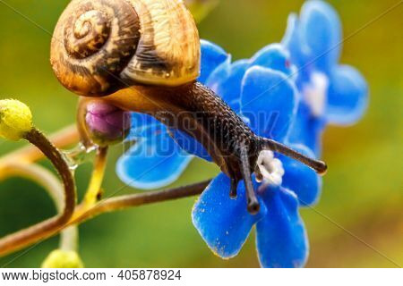 Snail Closeup Portrait. Little Snail In Shell Crawling On Flower And Green Leaf In Garden. Inspirati