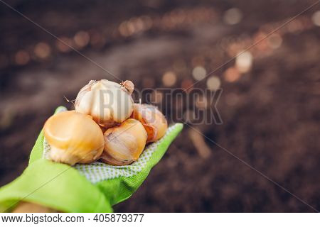 Allium Bulbs Fall Planting. Woman Gardener Holding Handfull Of Bulbs Ready To Put In Soil. Spring Ga