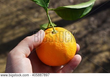 Fresh Picked Orange From An Orange Tree In Northern California In Hand Close Up High Quality