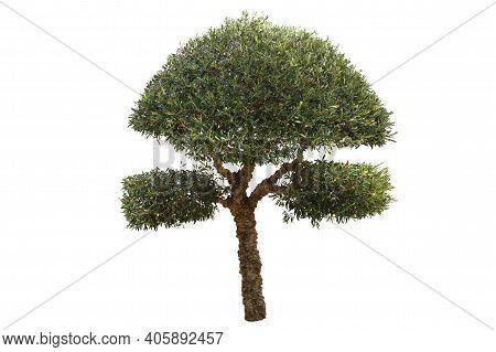Beautiful Deciduous Tree Isolated On White Background