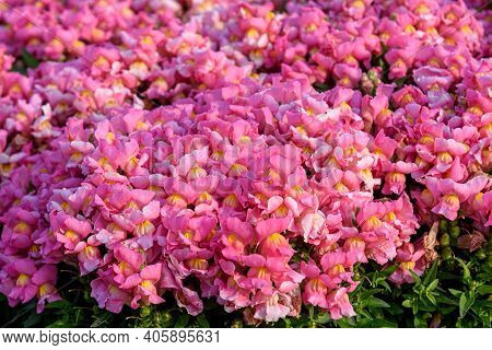 Beautiful Antirrhinum Majus Dragon Flower Also Known As Snap Dragons And Tagetes Patula (french Mari