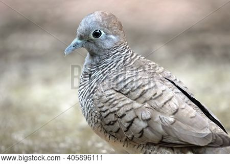 Close Up Zebra Dove Was Standing On The Ground