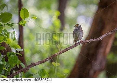 A  White-throated Sparrow (zonotrichia Albicollis) Welcomes Spring To The Forest. Raleigh, North Car