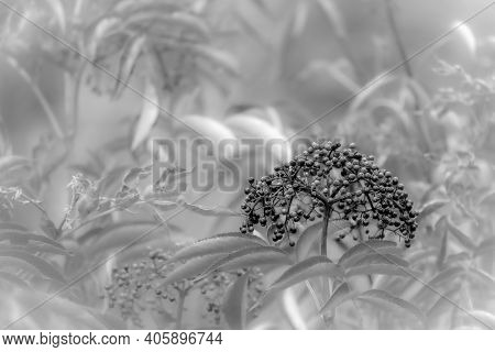 An Abstract Background Of Common Elderberry (sambucus ) With Copy Space.