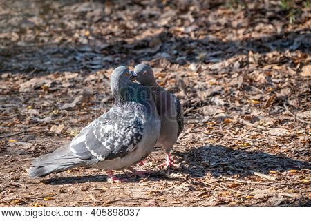 Mating Games Of A Pair Of Pigeons. Pigeons In Love Game