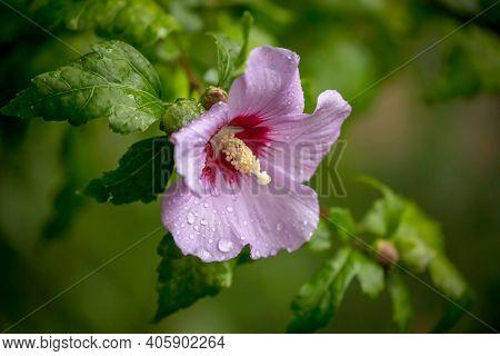 Hibiscus Syriacus Purple Flower (korean Rose, Syrian Ketmia, Shrub Althea, Rose Mallow). Mugunghwa (