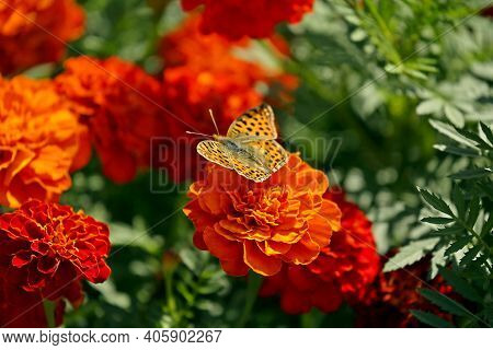 Butterfly On Orange Red Marigold Or Tagetes Flowers And Leaves Background Pattern In Garden. Close-u