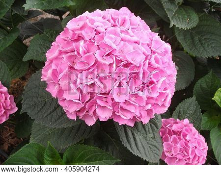 Pink Hydrangea Or Hortensia Flower Close Up On Natural Leaves Background. Flower Pink Hydrangea In B