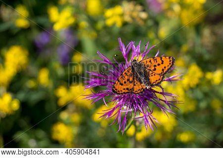 Red Butterfly Spotted Fritillary On The Flower.