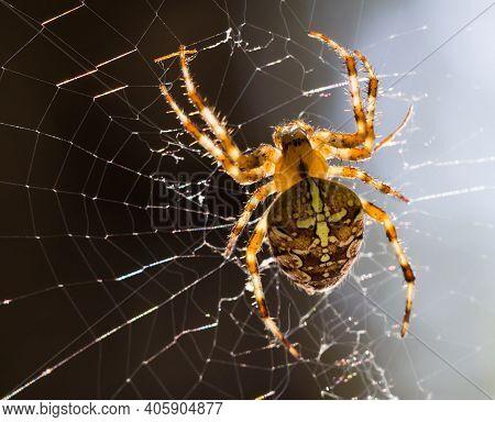 Close Up Macro Of Araneus Diadematus Spider On A Spider Web