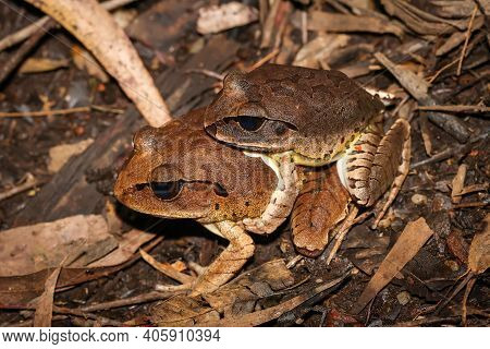 Two Great Barred Frogs Mating On The Forest Floor At Nighttime