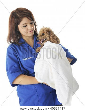 A pretty young veterinarian volunteer comforting a poodle-patient whose wrapped in a white towel.  On a white background.