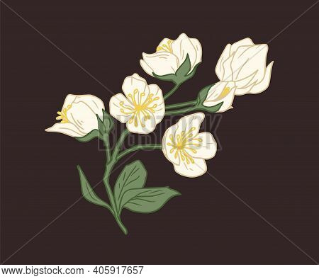 Branch With Blossomed And Unblown Flower Buds Of White Jasmine Isolated On Black Background. Elegant