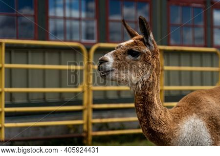 Photo Of Funny Alpaca At The Canadian Food And Agriculture Museum, With Yellow Fence Behind.
