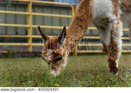 Closeup Photo Of Funny Alpaca Grazing Grass At The Canadian Food And Agriculture Museum, With Yellow