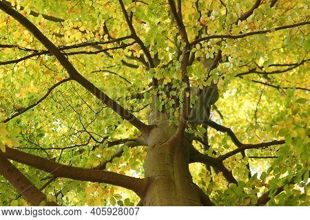 Beech Tree Crown Treetop Like A Roof Of Green Leafs