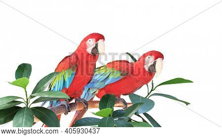 Two Ara parrots (Scarlet Macaw) sits on a branch among tropical leaves.  Exotical border with plants of jungle and Ara macao. Copy space for text. Isolated on white background