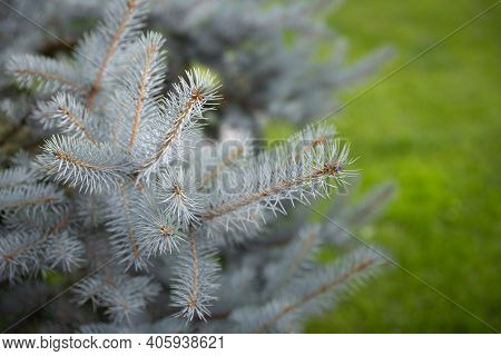 Natural Blue Spruce In The Park Against A Background Of Green Grass. Closeup Of Mint Spruce Branches