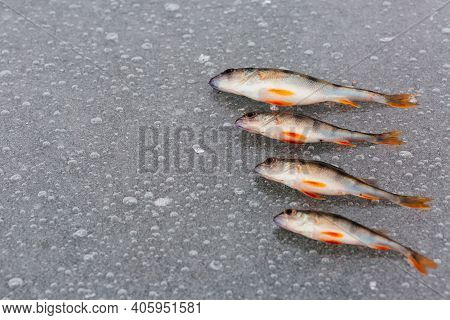 Perch Fish And On The Ice On The River. Ice Fishing. Fish Background. Winter Fishing Concept