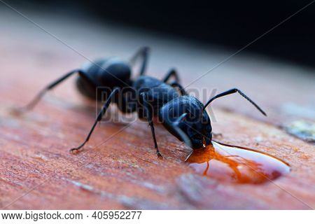 Lasius Niger. Black Ant Drinks Water, Close-up Portrait, Macro Photography. One Ant Drinks A Drop Of