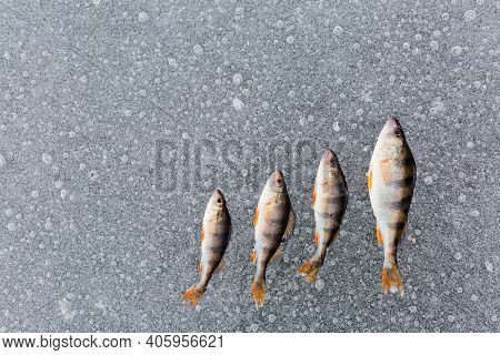 Four Perch Fish And On The Ice On The River. Ice Fishing. Fish Background. Winter Fishing Concept