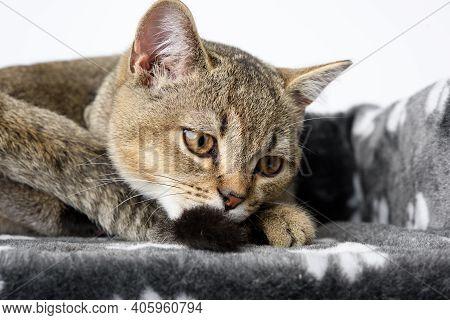 Portrait Gray Purebred Kitten Scottish Straight Chinchilla Lies On A White Background, The Cat Is Re
