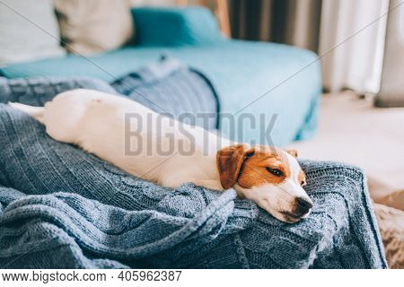 Adorable Puppy Jack Russell Terrier Sleeping On The Blue Blanket. Portrait Of A Little Dog.