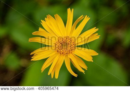 Arnica Montana On A Blurred Green Background